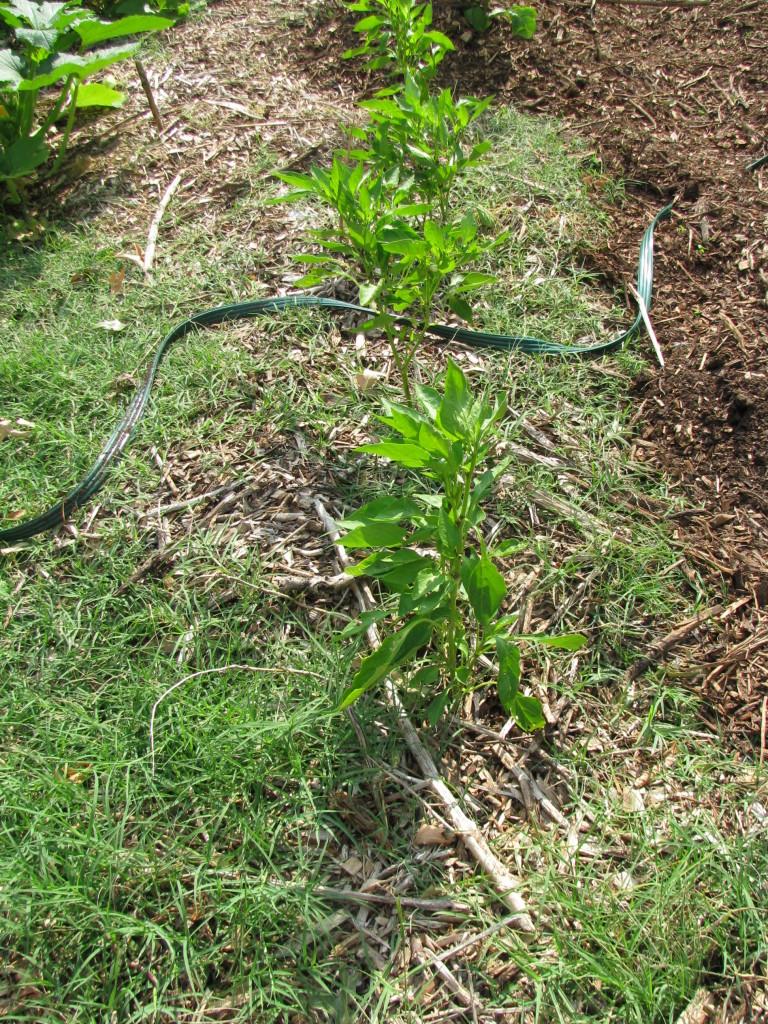 July Garden Update